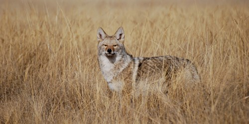 coyote in tall grass