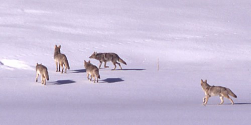 Four coyotes traveling across a snowy landscape
