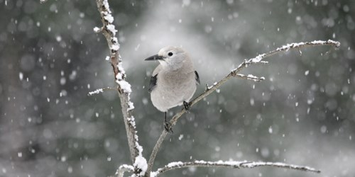 Clark's Nutcracker perched on branch in snow.