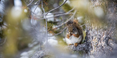 Squirrel sitting on a branch of a pine tree, eating