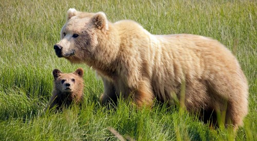 Brown bear and cub standing in tall grass