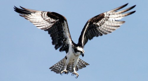 Large black and white bird of prey hovering