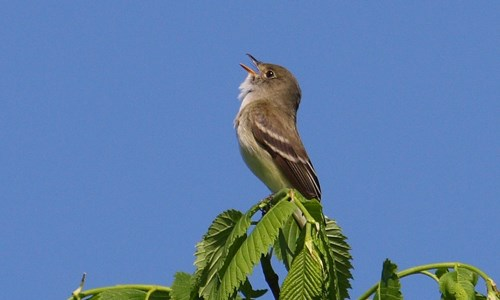Alder Flycatcher singing