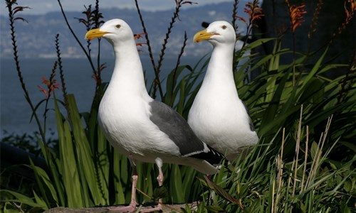 Two Western Gulls standing in a bush.