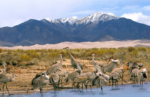 A group of long-legged gray birds standing in shallow water, with sand dunes and mountains in the background.