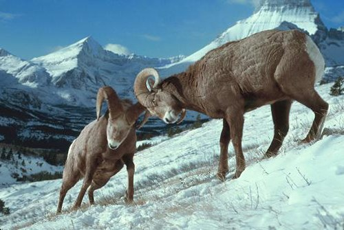 Two male bighorn sheep butting heads on a snowy mountainside