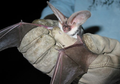 Bat with large ears being held by leather-gloved hands