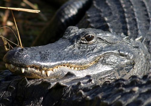 Sound Gallery - Alligator - Natural Sounds (U S  National Park Service)