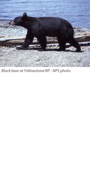 A black bear walks along the water's edge at Yellowstone National Park