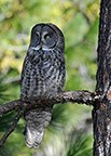 A great gray owl sits perched on a tree branch surveying its surroundings.