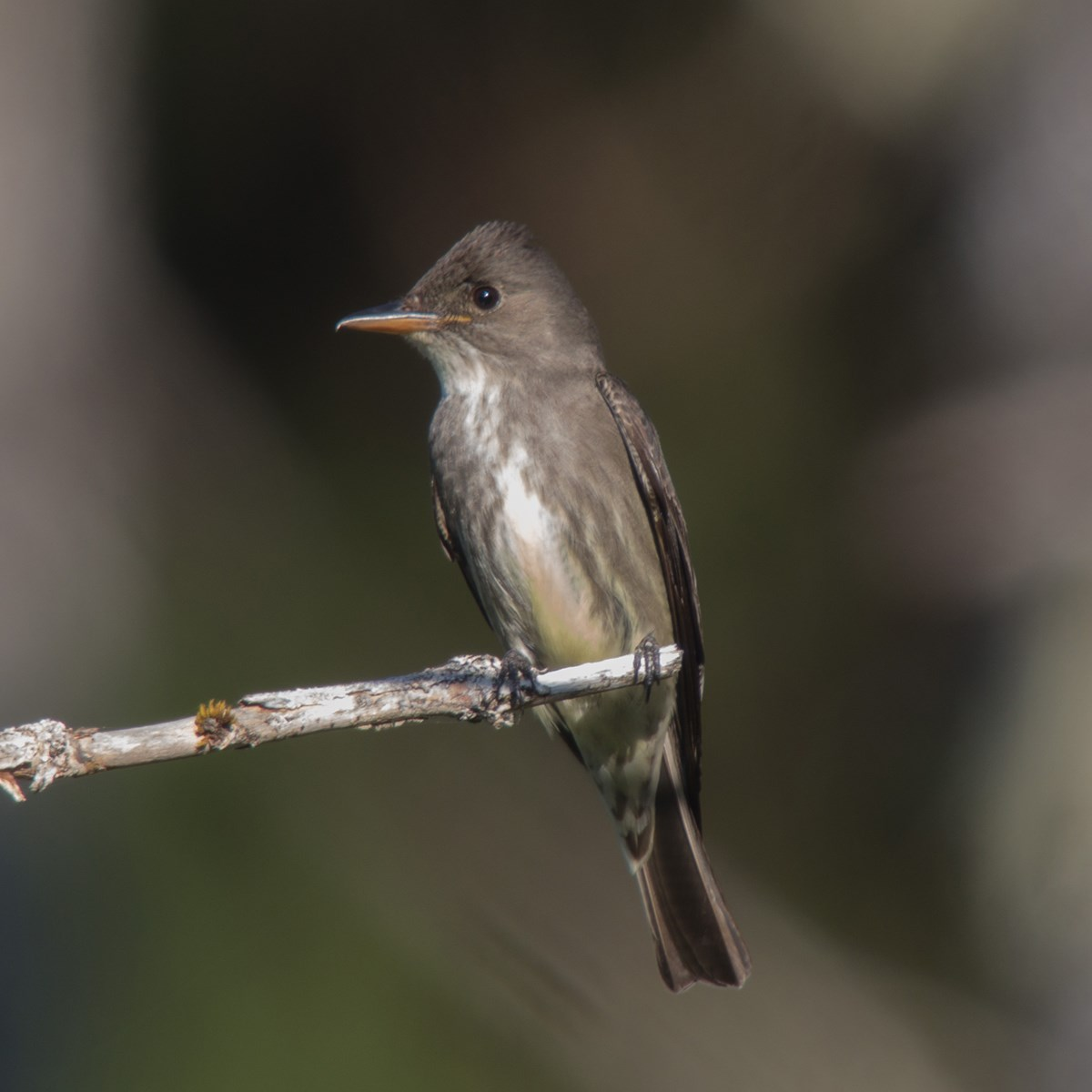 Frontal view of an Olive sided flycatcher bird perched on a brach