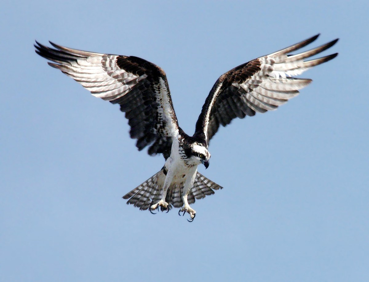 Osprey hovers mid flight with wings spread, scanning the ground for food