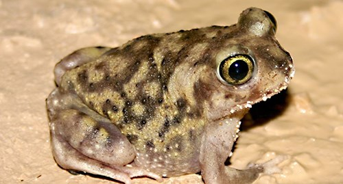 Photo of a Couch's Spadefoot Toad in the mud