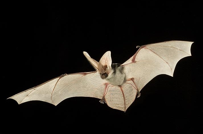 Spotted bat is photographed in mid flight with spread wings at night