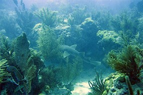 Shark on coral reef