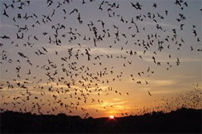 Brazilian free-tailed bats exit Carlsbad Cavern