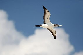 A Masked Booby soars in the skies above Hospital Key in Dry Tortugas National Park