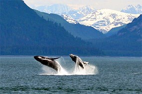 Two humpbacks leap out of the water
