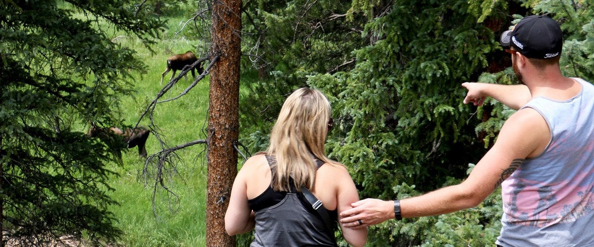 A man points to a pair of moose behind trees while pulling a woman closer to get a look