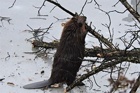 Beaver chewing trees