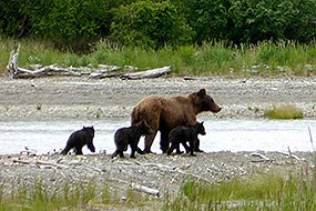 A mother brown bear walks with three cubs