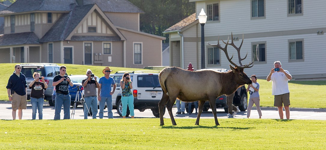 Visitors stand too close to elk