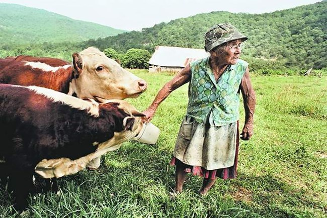"Eva ""Granny"" Henderson feeds the cows."