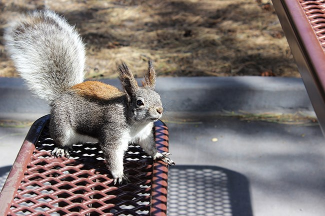 an Aberts squirrel sitting on a picnic table bench