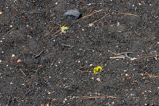 tiny clumps of yellow flowers struggle to grow among volcanic cinders