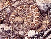 Photo of rattlesnake