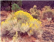 A rabbitbrush blooms among the cinders