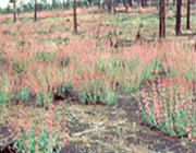 Sunset Crater penstemon