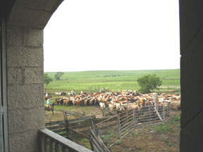 cattle in the pens