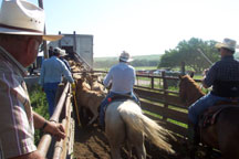 loading cattle onto the trucks