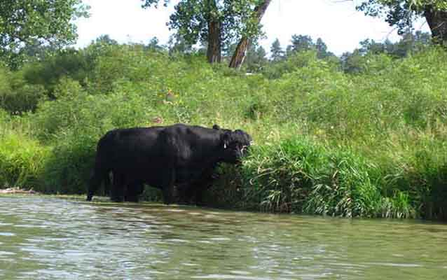 Photo of cow/buffalo in the water