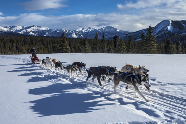A team of sled dogs pulls a musher on a sled through the snow