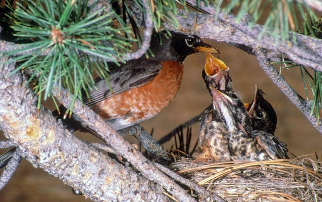 A bird feeds her young