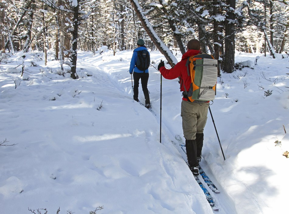 Two skiers make their way up a slight incline along a ski trail in a lodgepole forest.
