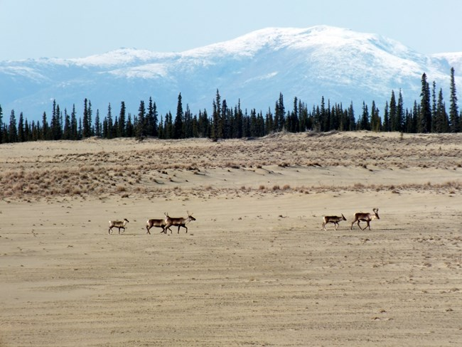 A group of caribou walking across sand dunes with Boreal Forest and snow-capped mountains in the background.