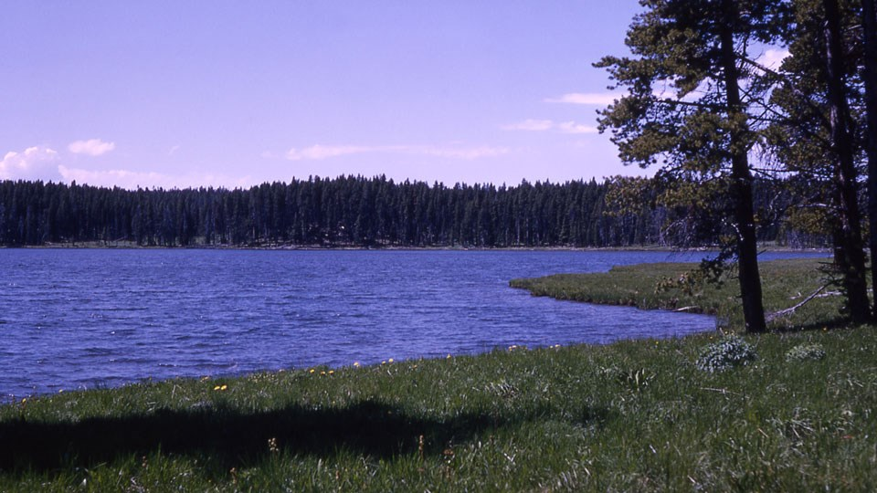 Grassy shoreline in front of a blue lake, with conifer trees growing on the opposite shore.