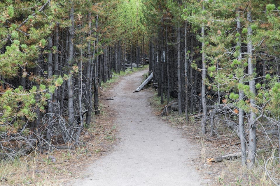 Bare ground path leads through a pine forest.