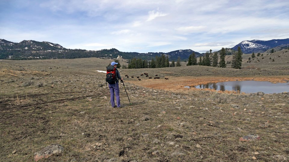 Hiker stops and observes some bison grazing near the trail.