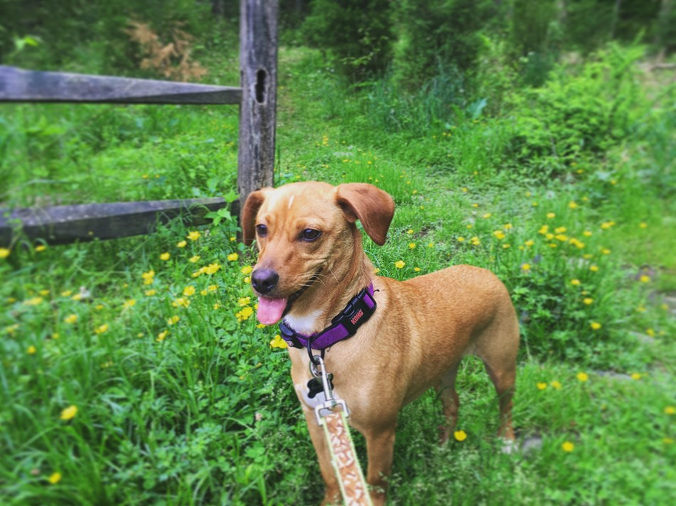 A puppy enjoys her first time hiking at Wolf Trap park.
