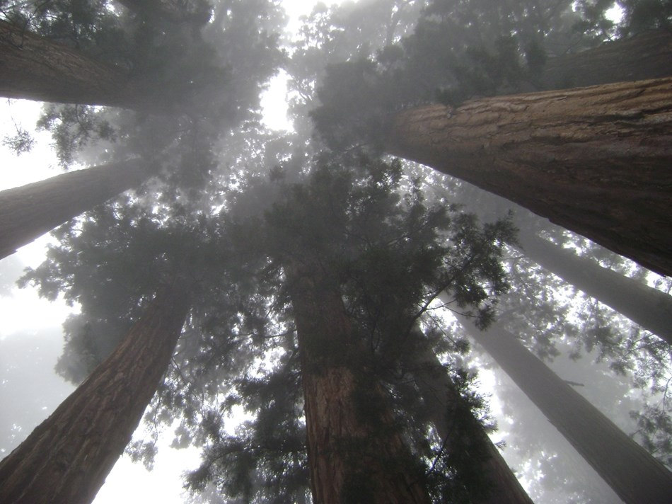Looking up through sequoia trees.