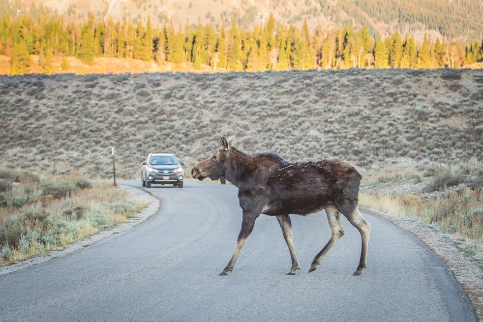 A moose walks across a road in front of a car.