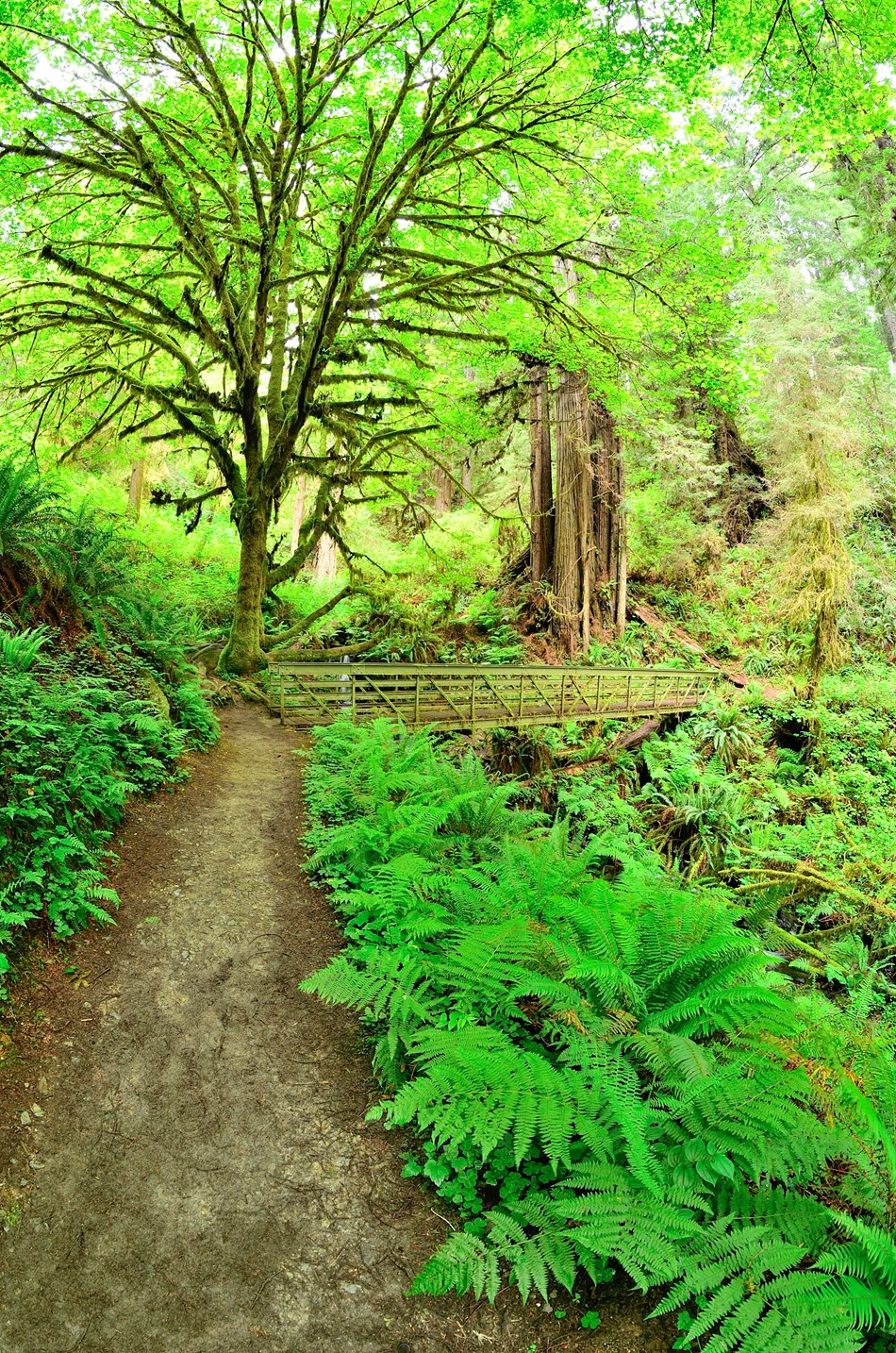 Trail and hikers bridge surrounded by redwood and maple trees.