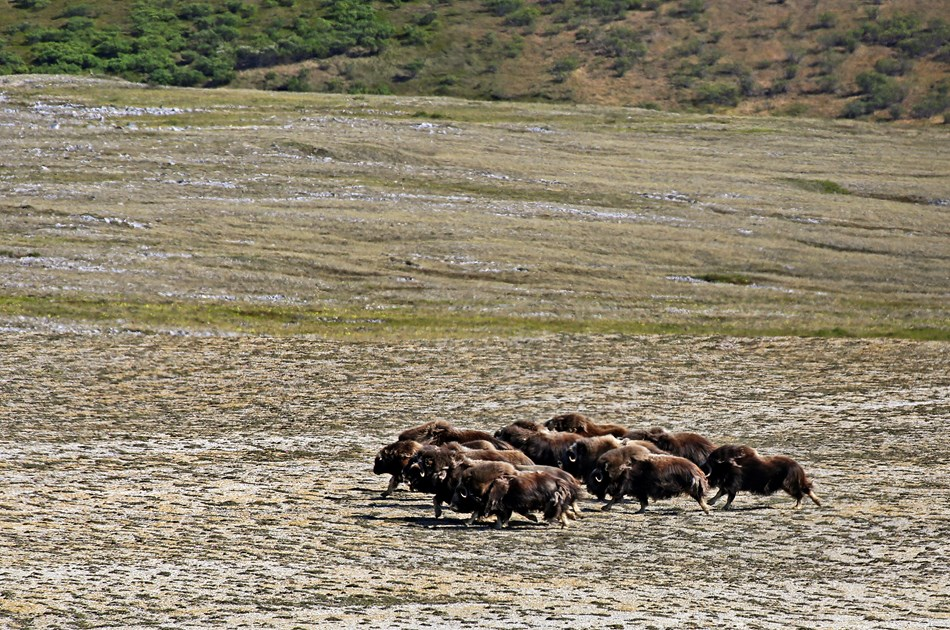 Muskox galloping on the tundra.