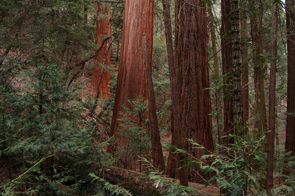 Sequoia tree trunks tower over underbrush