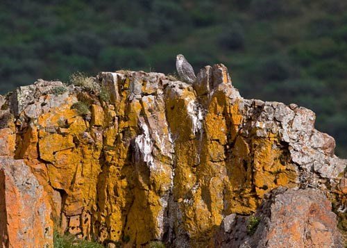 a gyrfalcon perched on rocks