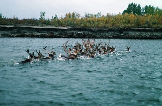 A herd of caribou swimming across the Kobuk River.